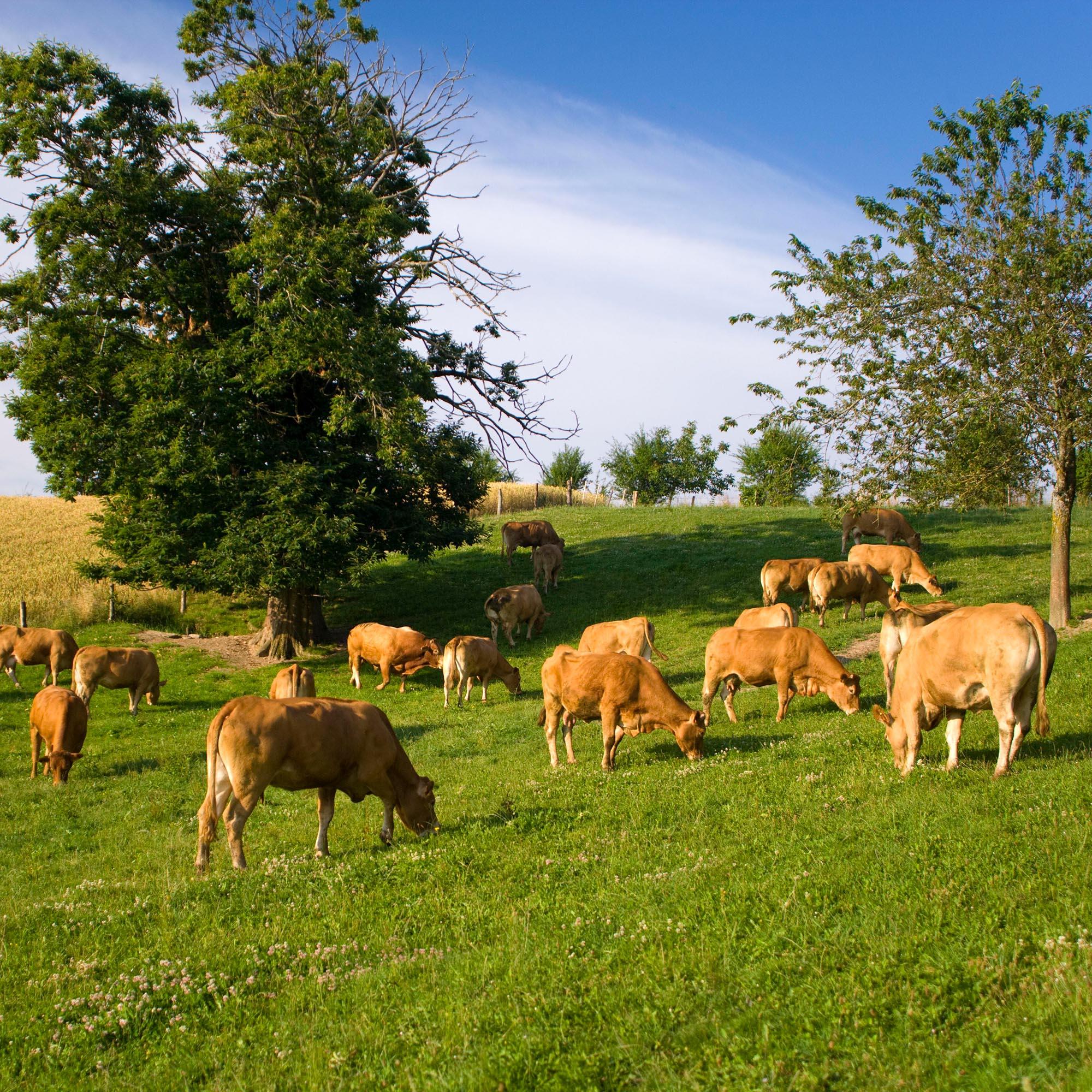 Veau d'Aveyron et du Ségala, mère aux pâturages, les vaches mangent de l'herbe